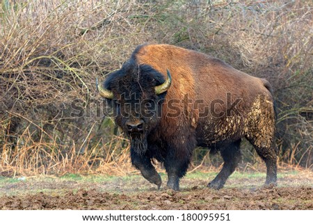 Fine-looking Taurus - stock photo