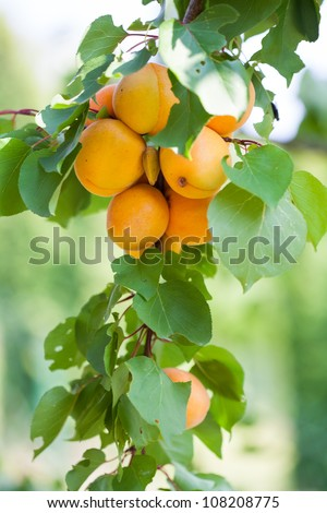 Fine, ripe apricots, green leaves on the tree - stock photo