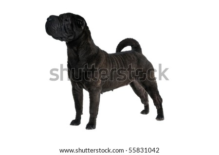 Fine Show Stack of a champion Shar-Pei