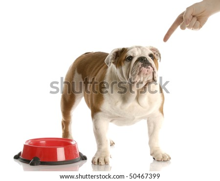 finger wagging at english bulldog puppy waiting to be fed with reflection on white background - stock photo