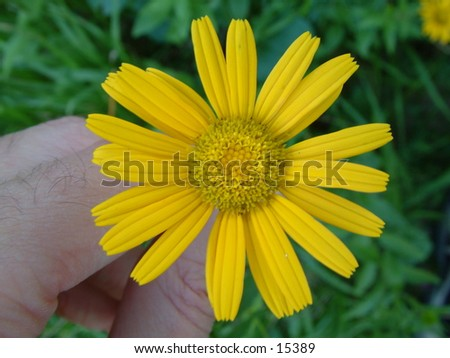 fingers holding sunny yellow wild meadow flower