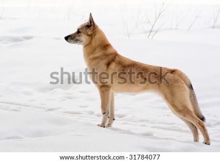 Finnish Spitz-dog walking in winter forest - stock photo