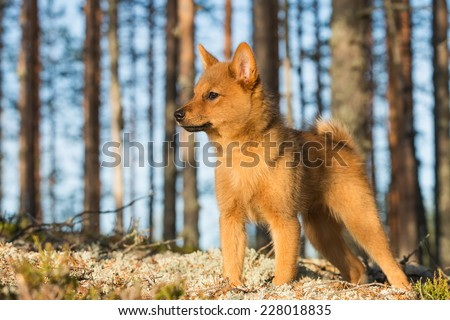 Finnish Spitz puppy listening the sounds of autumn forest - stock photo