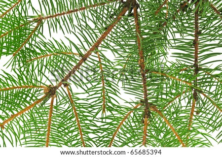 fir branch background - stock photo