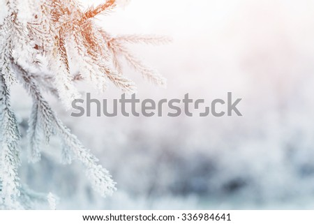fir branch in hoar frost on cold morning, toned photo - stock photo