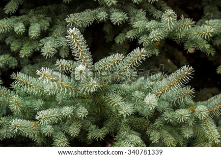 Fir branch in hoarfrost - stock photo