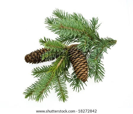 fir branch isolated on white - stock photo