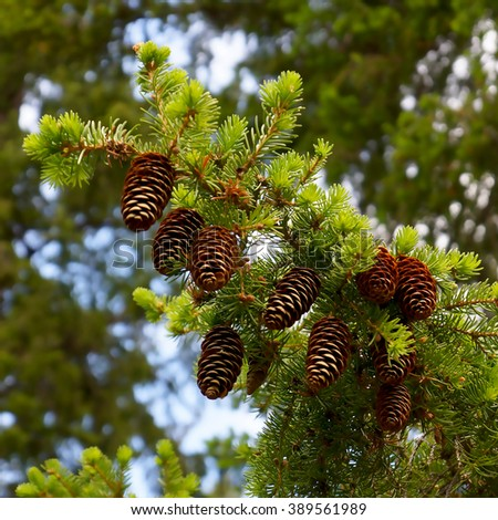 Fir branch with cones