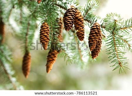 Fir branch with pine cones on snow