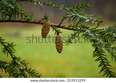 Fir branches and cones in raindrops. - stock photo