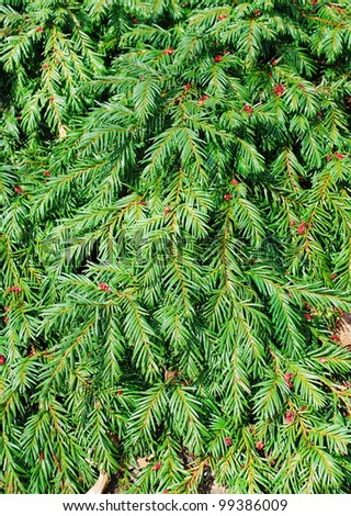 fir branches background - stock photo