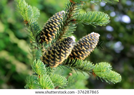 Fir branches with cones close up