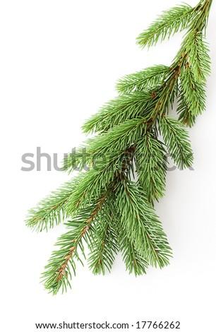 fir closeup - stock photo