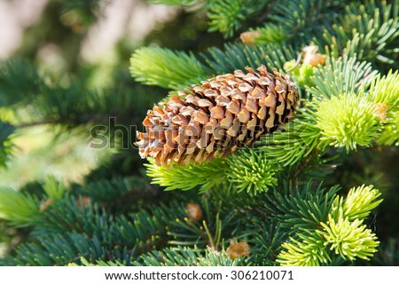 Fir cone on a branch. Coniferous tree. Forest of conifers. The needles on the branch. Green spruce, pine, fir. Resin on a lump. Evergreen trees. - stock photo