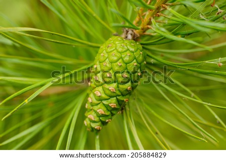 fir-cone on a branch with needles - stock photo