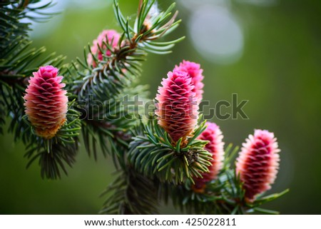 fir cones grow on the tree in spring - stock photo