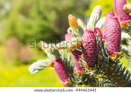 Fir cones on a branch - stock photo