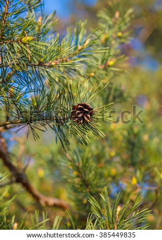 Fir cones on a branch. Close-up on a background of branches. Spring season sunny day. Soft focus background. - stock photo