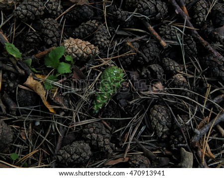 Fir cones on the ground close-up