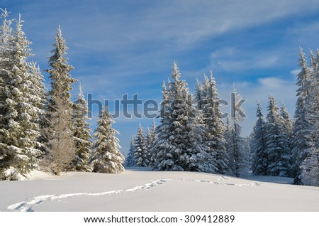 Fir forest under snow. Winter landscape in the mountains. Christmas look. Carpathians, Ukraine, Europe - stock photo