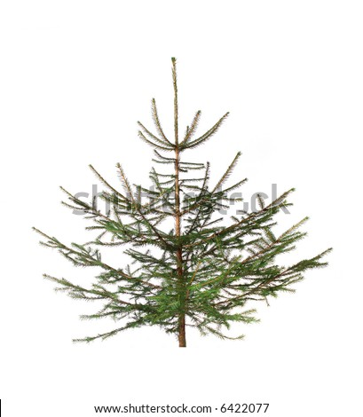 fir isolated on white - stock photo