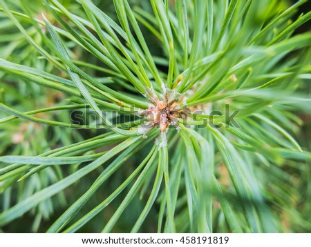 Fir needles macro with the resin. Details of the nature spruce forests. Beautiful wildlife. - stock photo