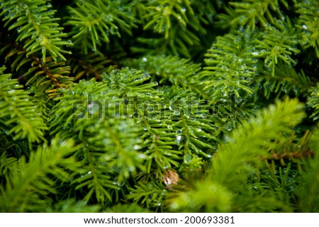 Fir needles with dewdrops