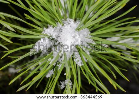 fir needles with snow - stock photo