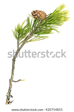 Fir, Pinus sylvestris twig with cone isolated on white background
