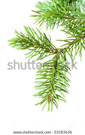 fir's branch isolated on white
