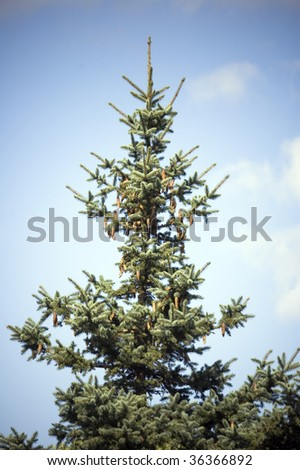fir tree against sky/ natural background /