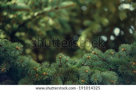 Fir-tree background - stock photo