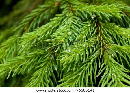 fir tree branch - stock photo