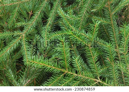 Fir tree branch background close up - stock photo