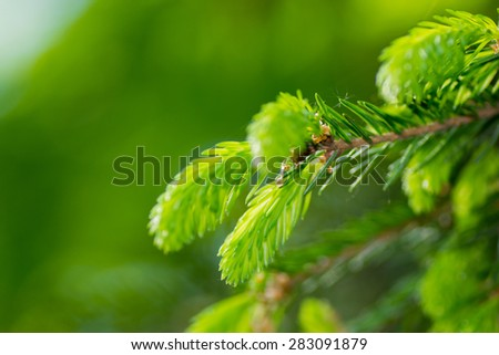 fir tree branch background pine closeup spruce nature - stock photo
