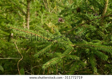 fir tree branch close up