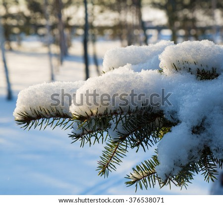 Fir tree branch covered with snow.