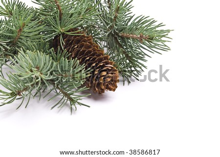 Fir tree branch with cone