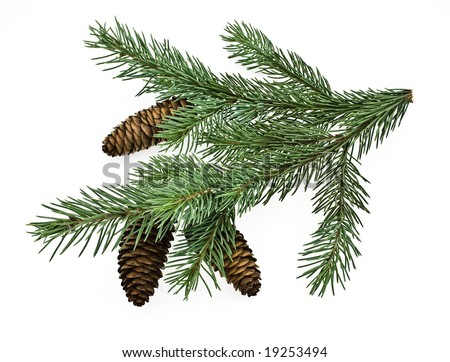 fir tree branch with cones isolated on white - stock photo
