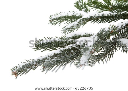 Fir tree branch  with fresh snow  on a white background. Christmas decoration. - stock photo