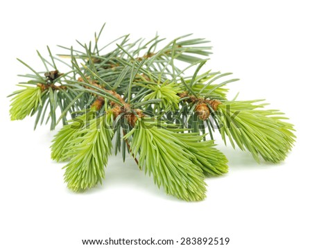 Fir tree branch with young sprout on a white background    - stock photo