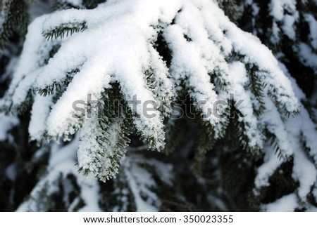 Fir tree branches covered with snow 1