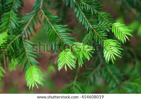 Fir tree bud that grow in forest - stock photo
