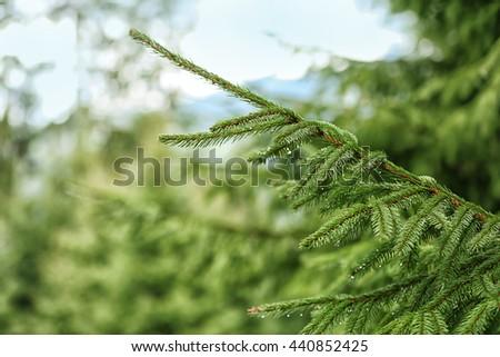 Fir tree, closeup - stock photo