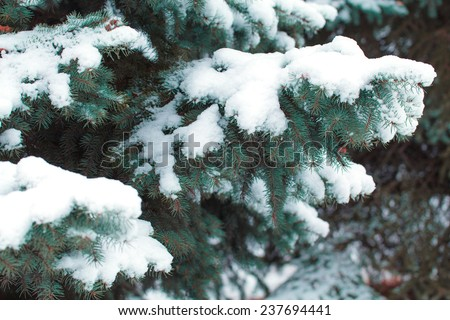 Fir tree covered by snow.