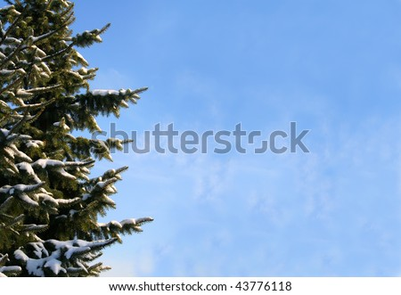 fir tree covered with snow with blue sky background