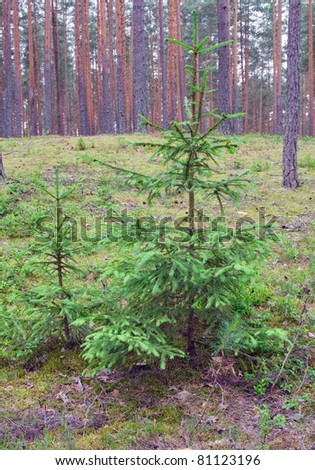 fir tree family in pine wild forest - stock photo