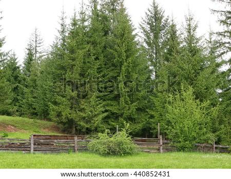 Fir tree forest - stock photo