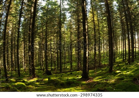 Fir tree forest penetrated with sunbeams, Puumala, Finland - stock photo