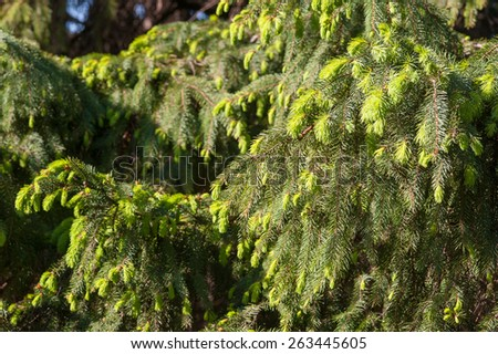 Fir tree green branches in summer park - stock photo